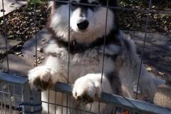 Husky-1